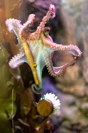 An octopus has snatched a dishwashing brush during spring cleaning at the Sea Life aquarium in Timmendorfer Strand, northern Germany
