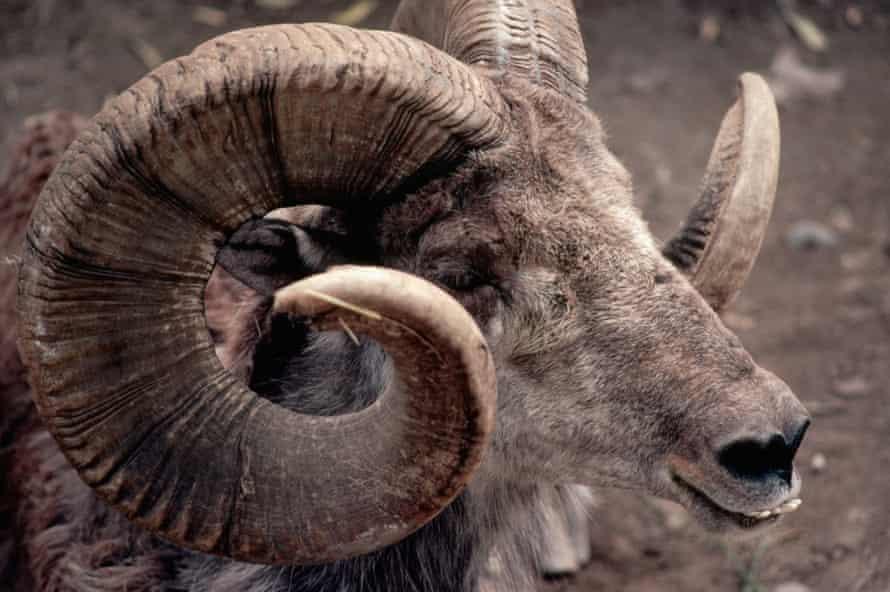 An Argali sheep.