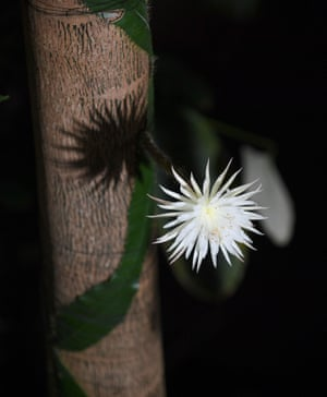 Cambridge, England: The rare Amazonian cactus called the Moonflower at Cambridge University's Botanic Garden blossoms for what botanists believe is the first time in the UK