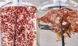 Asparagopsis is a species of Red Algae native to Australian coastal waters.