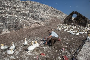 Volunteer Bobby Anderson removes hazardous plastic waste from the gannets nesting material