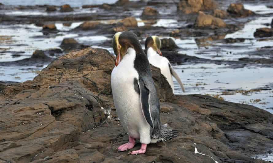 John S Smith's yellow-eared penguin sighting in New Zealand in 2012.