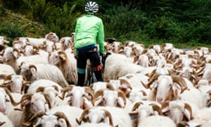 A rider is surrounded by sheep on the route, a common problem in the area.