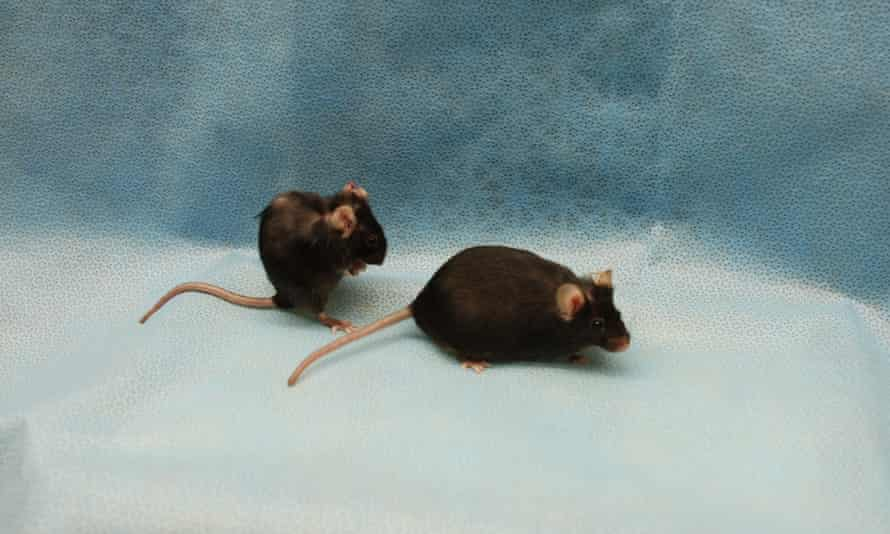 twin mice showing the beneficial effects of removing senescent cells
