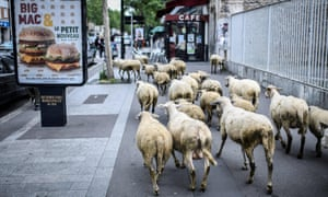 A herd of sheep passes by a billboard with an advertisement for US food company MacDonalds in Aubervilliers