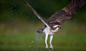 Osprey have bred on Rutland Water since 2001.