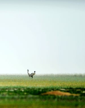 Black-necked cranes in Yanchiwan national nature reserve in Subei Mongolia, northwest China's Gansu Province