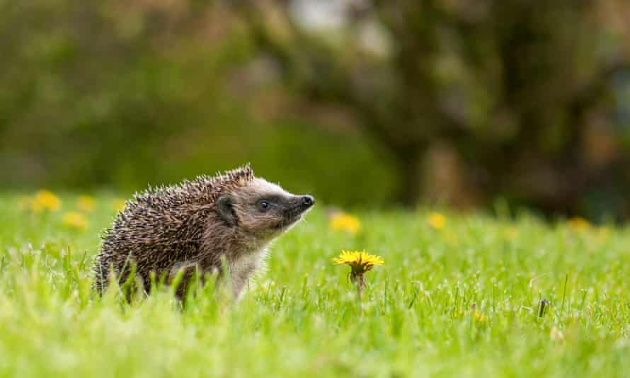 Hedgehogs are starting to come out of hibernation now, so leave shallow dishes of water.