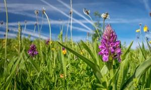 Flowering season: purple southern marsh orchid (Dactylorhiza praetermissa), West Yorkshire.