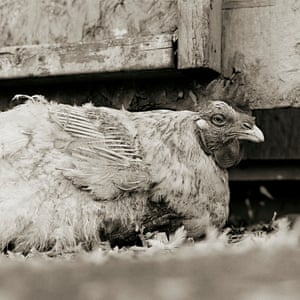 An unnamed rooster, age unknown, rescued from a factory farm