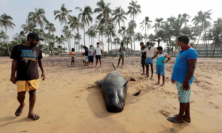 People look at a dead pilot whale in Panadura, Sri Lanka, on 3 November.