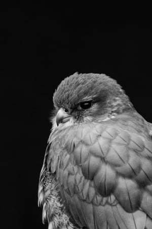 MerlinThis Merlin (Falco columbarius) is one of the raptors kept at the International Centre for Birds of Prey in Newent. Its direct and strong gaze made me stop and take its portrait. I changed the angle from which I was taking the photo until I found this monotone background, so that nothing would distract from the Merlin's detailed feathers and expression.