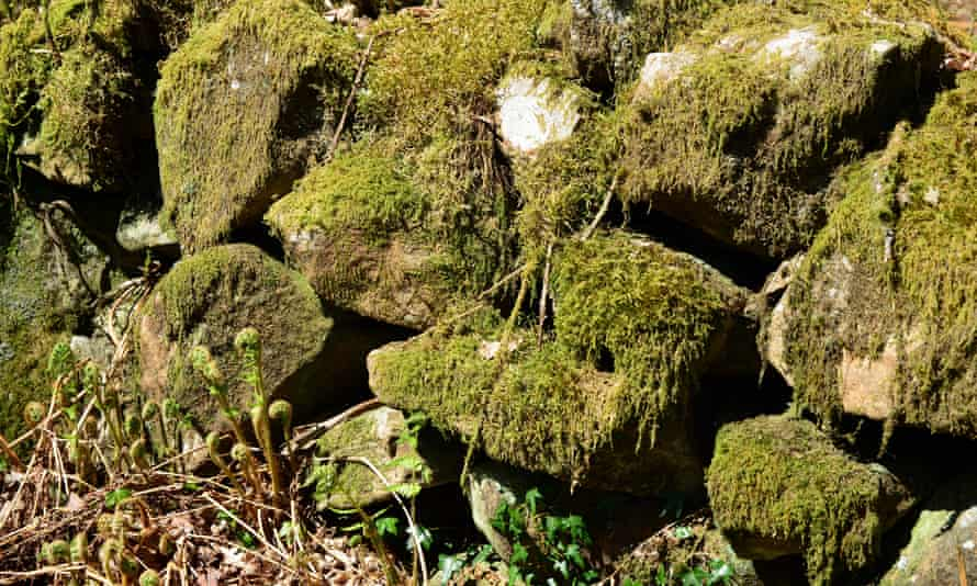 Moss-covered rocks in the hedge bank
