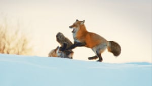 The red fox's adaptability makes it by far the most widespread of all wild canines.