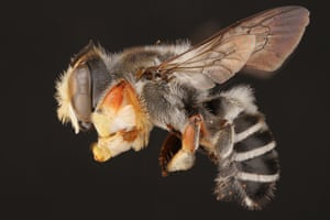 The male hostile leaf-cutter bee