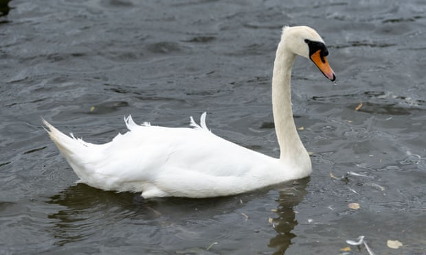 Bird flu fears grow after spate of mysterious UK swan deaths