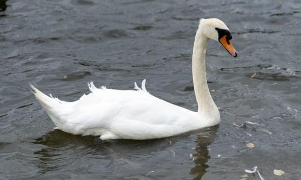 Bird flu fears grow after spate of mysterious UK swan deaths