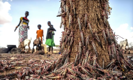 Desert locusts swarm over a tree in Isiolo county, Kenya, in an outbreak threatening crops across parts of Africa.
