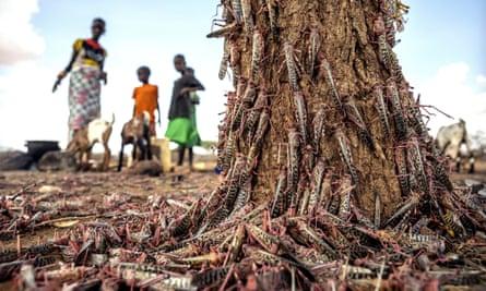 Desert locusts in Kipsing