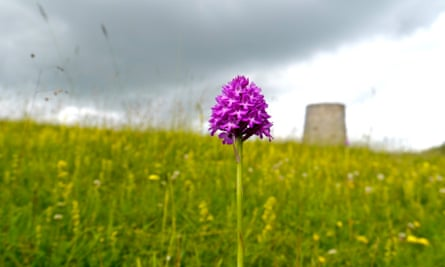 Pyramidal orchid on Windmill hill