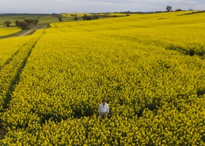 Farmer Peter O'Connor stands among this year's bumper crop of canola in Harden.