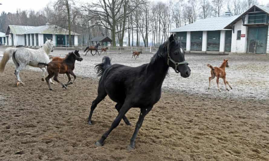 Horses play in Poland's state-owned Janów Podlaski stud farm.