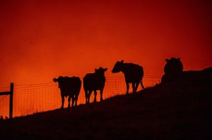 Cows stand atop a hillside during the Kincade fire.