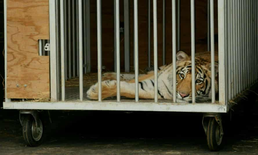A nine-month-old Bengal tiger in a cage after being captured by authorities in Houston in May