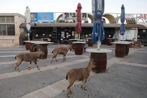 Nubian ibex explore a closed outdoor cafe
