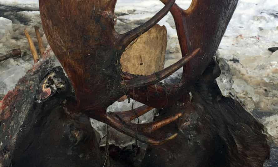 Two moose were frozen mid-fight and encased in ice near the remote village of Unalakleet, Alaska, on the state's western coast.