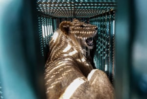 A sedated lioness is pictured in a cage at a zoo in Rafah in the southern Gaza Strip, during an evacuation by members of Four Paws, an international animal welfare charity