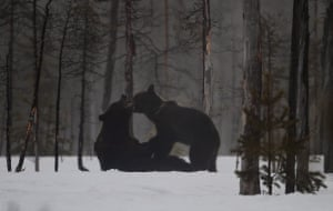 Brown bears scrapping in the snowThese two bears were sparring in the freshly fallen snow on the Finnish-Russian border around 30 metres from a hide where I was spending the night Photograph: mollymawk/GuardianWitness