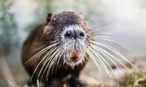 Closeup of Nutria, Coypu or river rat, large rodent