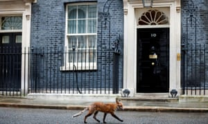 A fox walking past 10 Downing Street this week. The number of rescues involving the animals nearly doubled in 2020.