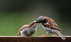 A male house sparrow feeds its young.
