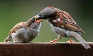 Male common sparrow feeding a juvenile