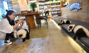 Chow chow dogs painted as giant pandas in the Chengdu cafe.