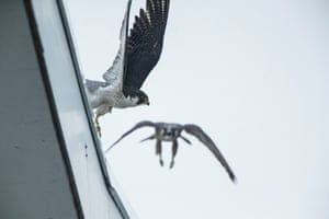 09/07/2015 Peregrines once fledged can be distinguished from the adults due to their brown plumage, as opposed to the parents slate grey plumage.