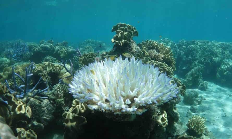 Scientists fear these images of heat-stressed, bleached coral at Lizard Island on the Great Barrier Reef could be the start of another mass bleaching event.