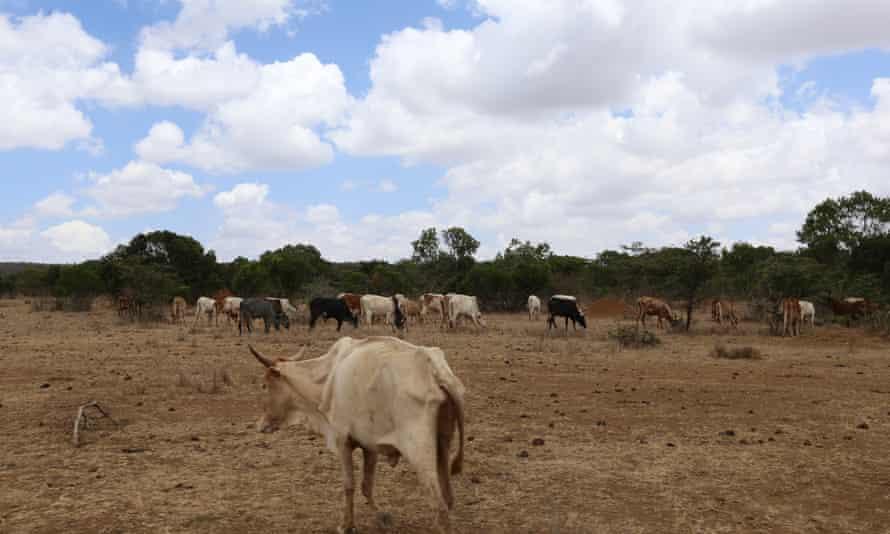 Livestock  Mugie Wildlife Conservancy