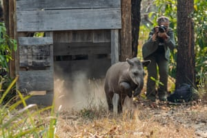 The conservationist Patricia Medici, seen here photographing the release of a tapir, has been awarded 2020 Whitley wildlife conservation Gold Award. Tapirs are the largest land mammals in South America and are considered living fossils, having survived waves of extinction over millions of years. However, they now face human threats, including destruction of their habitat owing to expansion of large-scale agriculture, cattle ranching and mining.