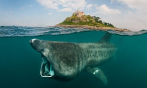 A basking shark off the coast of Cornwall.
