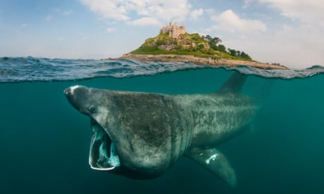 A split level digital composite showing a Basking Shark feeding on plankton around St Michael's Mount, Cornwall