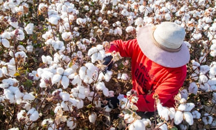 A cotton picker in Xinjiang, where captives are used as forced labour.