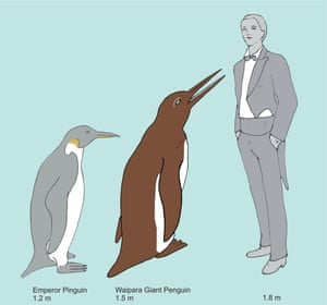 Artist reconstruction of the Waimanu giant penguin compared to a modern Emperor penguin and a gentleman.