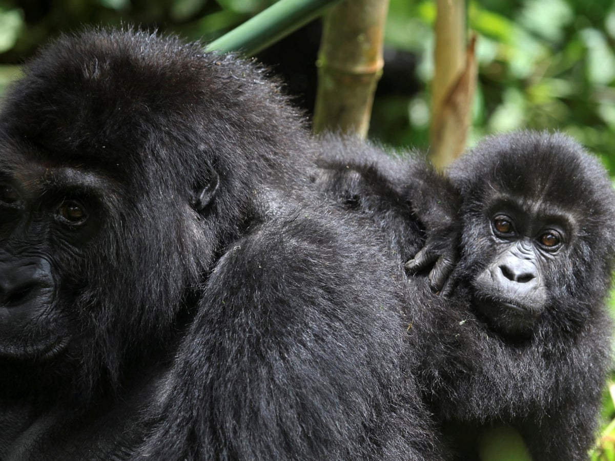 Six Gorilla Rangers Killed in Ambush at Virunga National Park in Eastern Congo