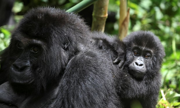 Six gorilla rangers killed in ambush at DR Congo's Virunga national park