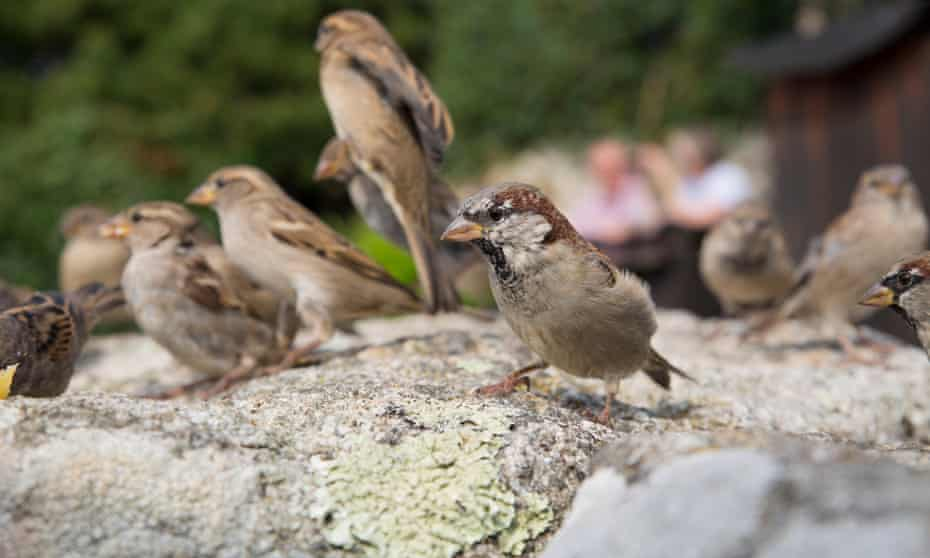 A group of house sparrows on a rock