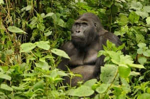 The world's largest living primate, the Eastern Lowland Gorilla, has been classified as critically endangered by the International Union for the Conservation of Nature (IUCN). It has suffered a devastating population decline of more than 70% in 20 years. Here, one of the few remaining adult male silverbacks is seen sitting in forest undergrowth in the Kivu Region of the Democratic Republic of Congo.