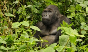 The murder of Jacques has conservationists worried about the future of the rangers as well as the gorillas.